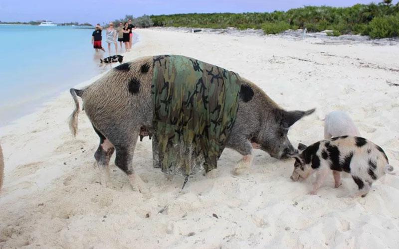 Залив свиней на Кубе